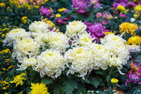 Multicolor chrysanthemum flower bed in China