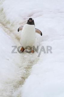 Gentoo Penguin which goes along the trail trampled in the snow by penguins