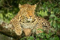 Leopard lies on branch with eyes closed