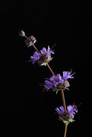 Salvia purple sage flowers still life against black
