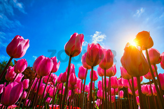 Blooming tulips against blue sky low vantage point