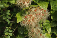 Seed head of the clematis