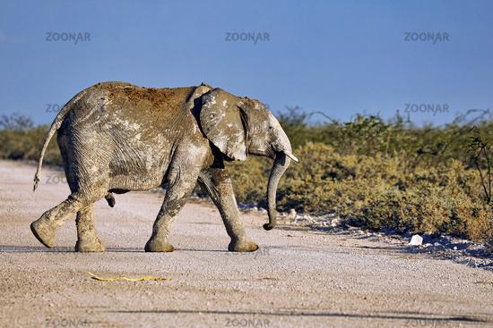 young elephant, Etosha National Park, Namibia, (Loxodonta africana)