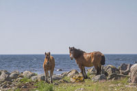 Mare with foal in the nature reserve Morups Tange