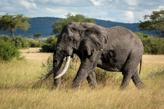 African bush elephant walking through long grass