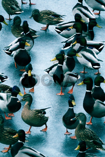 Large accumulation of ducks in winter on ice of reservoir.