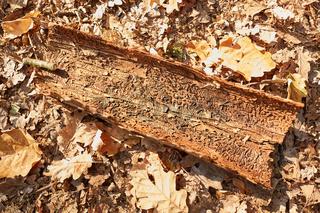 Baumrinde mit Borkenkäfer Befall auf Herbstlaub