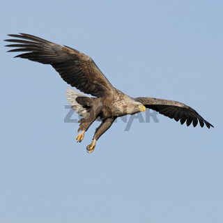 im Anflug... Seeadler * Haliaeetus albicilla *