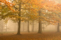 Autumn colors on a misty morning, beautiful trees in the forest in Denmark