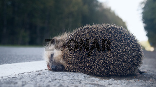 The unfortunate hedgehog is hit on the road by a car.