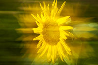 Head of Sunflower laterally shifted