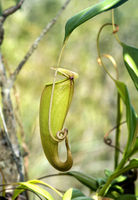 Carnivorous Nepenthes pitcher plant (Nepenthes madagascariensis)