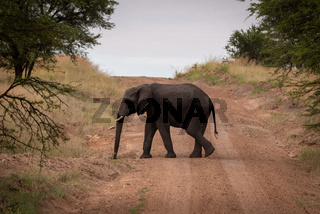 African elephant walks across track between trees