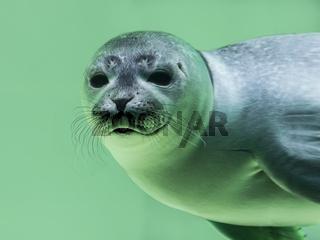 Junger Seehund (Phoca vitulina) unter Wasser