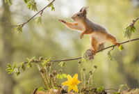 red squirrel on branch with an narcissus and ferns