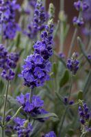 Nahaufnahme vom Lavendel