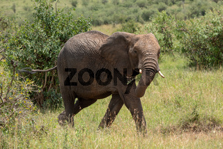 African elephant walks through bushes swinging trunk