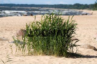 Seagrass in sandy beach