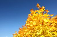 Bright yellow autumn leaves on tree top against clear blue sky