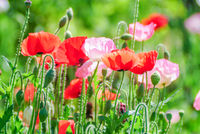 Red and pink poppy flowers in a field, red papaverRed and pink poppy flowers in a field, red papaver