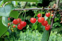 red cherries on the branch