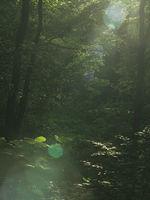 Sunbeams in the deep beech forest