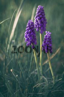 three purple grape hyacinth on the meadow