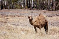 Outback Australian Camel