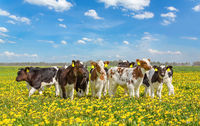Group of newborn calves together in meadow with dandelions