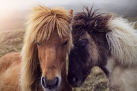 Two Faroese Horses