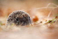 European hedgehog with protective prickles hiding in leafs