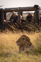 Male lion in grass with truck behind
