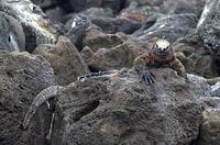 marine iguana Amblyrhynchus cristatus venustissimus, Floreana  Island, Galapagos Islands, Ecuador