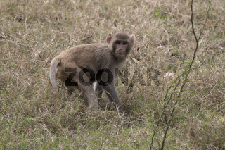 young rhesus macaque standing among the grass in a clearing at the edge of the forest