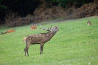 Red deer stag roaring on a meadow in rutting season with herd in background