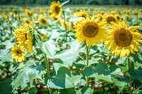 famland filled with sunflowers on sunny day