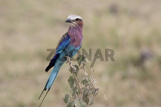 Lilac-breasted Roller sitting on a branch at the top of a bush in the savanna in the dry season