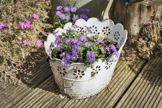 Lila Margeriten | Purple daisies