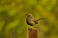 Brown rockchat or Indian chat, Oenanthe fusca standing on a metal pole, Pune, Maharashtra, India