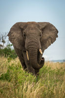 Male African bush elephant stands curling trunk