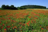 Landscape on the Swabian Alb with field poppy