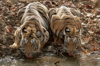 Two young tigers drinking water at Tadoba Andhari Tiger Reserve, Chandrapur, Maharashtra, India.