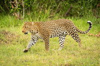 Leopard lifts paw while walking through grass