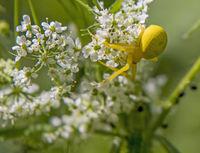 Goldenrod crab spider  'misumena vatia'