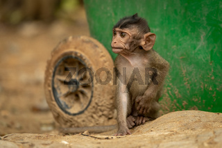 Baby long-tailed macaque sits by green bin