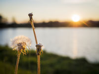 Dandelion at sunset on a lake