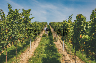 Man walking on path leading through rows of grapevines in vineyard