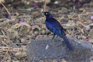 Ruppelles long-tailed Starling who sits on a rock on the ground in the shade of shrubs