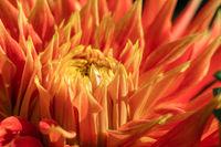 Cactus Dahlia flower close up