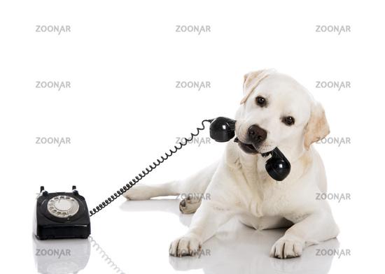 Labrador answering a call